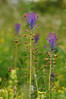 Tassel Hyacinth - Muscari comosum (Les Coe) Tags: asparagaceae leopoldia leopoldiacosmosa monocotyledons plantae tasselhyacinth tasselhyacinthleopoldiacosmosa wharramlestreetmalton northyorkshire england uk wharram muscaricomosum