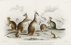 Lord Derby Kangaroo, Aroe Kangaroo, Parry's Kangaroo, Woolly Kangaroo, Brush Tailed Kangaroo, Rat-Tailed Hypsiprymnus, and Rabbit-Eared Perameles from A history of the earth and animated nature (1820) by Oliver Goldsmith (1730-1774). Digitally enhance (Free Public Domain Illustrations by rawpixel) Tags: goldsmith oliver otherkeywords tags ahistoryoftheearthandanimatednature antique aroe artwork australia australian bandicoot brush cc0 creativecommons0 creativecommonszero derby drawing earth glead handdrawn handcoloured horned hypsiprymnus illustrated illustration kangaroo kestril kite longnosed name nature old olivergoldsmith parry perameles peregrine pheasant publicdomain rabbiteared rattailed ringed silver sitting sketch species style tailed vintage wild wildlife woolly