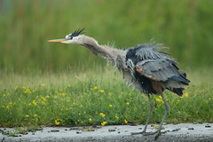 Just a good shaking.. (Earl Reinink) Tags: bird animal wildlife nature photography earlreinink earl reinink outside outdoors shaking heron greatblueheron movement oaddtardza