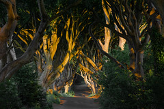 The Dark Hedges (johan wieland) Tags: armoy northernireland unitedkingdom gb darkhedges antrim noordierland sunset shadow trees dark gameofthrones
