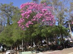 DSC00708 Ipê-Rosa (Tabebuia Impetiginosa) (familiapratta) Tags: sony dschx100v hx100v iso100 natureza flor flores nature flower flowers