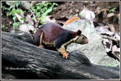 7975 - Malabar giant brown squirrel (chandrasekaran a 50 lakhs views Thanks to all.) Tags: malabargiantbrownsquirrel mammals nature india tamilnadu kallar mettupalayam canoneos80d tamronsp150600mmg2
