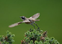 Whinchat. (jimbrownrosyth) Tags:
