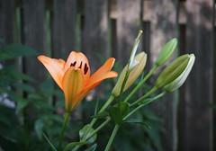 DSC08902 (Old Lenses New Camera) Tags: sony a7r minolta chiyoko rokkor telerokkor 11cm 110mm f56 plants garden flowers lilies daylily