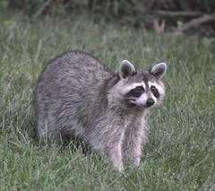 2592ex2 backyard bandit (jjjj56cp) Tags: raccoon bandit backyardbandit masked inthewild yard garden furry whiskers closeup wildlife d7000 jennypansing