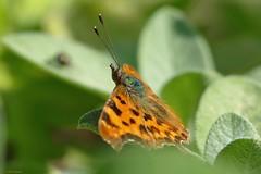 Gehakkelde aurelia (jehazet) Tags: vlinders butterflies polygoniacalbum gehakkeldeaurelia inmygarden
