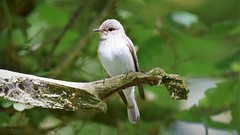 Spotted Flycatcher (doranstacey) Tags: nature wildlife birds spotted flycatcher paddley gorge peak district tamron 150600mm nikon d5300