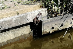 Mink with Rat (NTG842) Tags: stalybridge huddersfield narrow canal mink rat