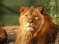 Aslan00048 (Rasenche) Tags: animal carnivore cat mammal bigcat annapaulowna stichtingleeuw lion