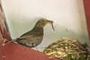 DSC05007 Merel, Blackbird, Turdus merula. (jwsteffelaar) Tags: blackbird turdusmerula merel taxonomy:binomial=turdusmerula eurasianblackbird commonblackbird