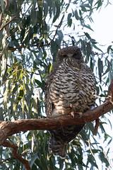 Powerful Owl (Ninox strenua) (LauriusV) Tags: englishpowerfulowl familystrigidae genusninox orderstrigiformes speciesninoxstrenua wantirnasouth victoria australia au