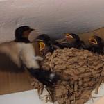 Swallow family thumbnail