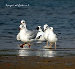 DSC00809 Black-headed Gull (Chroicocephalus ridibundus) (vlupadya) Tags: greatnature animal aves fauna blackheaded gull chroiccephalus kundapura karnataka