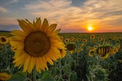 Sunflower sunset - Sonnenblumiger Sonnenuntergang (ralfkai41) Tags: sonnenblume sunset plants sonne himmel outdoor natur clouds sun sunflowers pflanzen nature flowers field blossoms blüten sky feld closeup sonnenuntergang wolken blumen