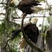 Eagles 5l