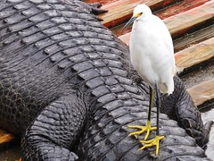 Brave Snowy Egret (Douguerreotype) Tags: animal nature usa bird america