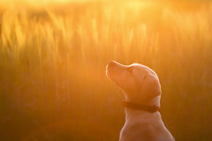 Holly at Sunset (aveyardphotography) Tags: holly labrador puppy sunset walk sit sitting dog wheat field gold golden light sunny york yorkshire bright shallow focus