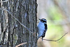 Downy Woodpecker (female), Minnesota, Ramsey County- White Bear Lake, Tamarack Nature Center (EC Leatherberry) Tags: minnesota woodpecker ramseycounty picoidespubescens downywoodpecker downywoodpeckerfemale whitebearlakeminnesotatamarack center tamaracknaturecenter