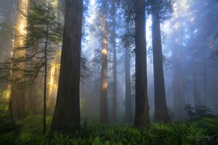 Mystical Forest (Del Norte Redwoods SP, CA).