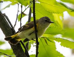 American Redstart (Douglas M. Winn) Tags: bird songbird warbler fortsnelling setophagaruticilla