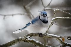 Blue Jay (blokfam9739) Tags: birds bluejay corvidae crowsravensrooksjackdawsjaysmagpiestreepieschoughsnutcrackers cyanocittacristata northamericanbirds