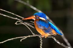blue-eared kingfisher (ewiggestrig) Tags: blueearedkingfisher menintingeisvogel alcedo meninting borneo sabah eisvogel wildlife kinabatangan malaysia rainforest