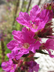 Purple Loosestrife (Redcognito) Tags: flowers loosestrife purpleloosestrife wildflowers weeds biwp17072018