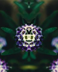 Bárbara (Aall Tibb) Tags: canon t3i 600d flowers flower flor rose rosa solo mirror simmetry symetry verde light luz tunja boyaca colombia canon600d canont3i lightroom photoshop purple morado aalltibb