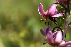 Lys martagon (Lilium martagon) et zygène du chevrefeuille (Zygaena lonicerae) (germainpoignant) Tags: sauvage lys zygaenidae sud du alpes des fleurs alpine flore prairie