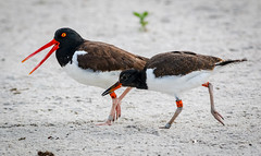 Oystercatcher and Fledgling (tresed47) Tags: 2018 201807jul 20180704nynickersonbirds birds blackskimmer bryanscamera canon70d content folder july longisland ny nickersonbeach petersphotos places season summer takenby tern us