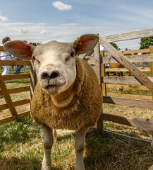 Driffield Show 2018 IMG_9472 (oddlegs) Tags: driffieldshow2018 driffield showground july rural agricultural traditional sheep
