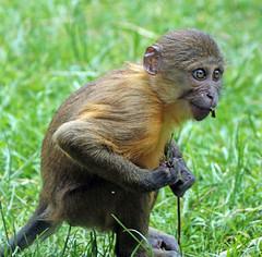 Goldenbellied mangabey Burgerszoo JN6A6869 (j.a.kok) Tags: animal africa afrika aap mammal monkey mangabey goudbuikmangabey goldenbelliedmangabey zoogdier dier burgerszoo burgerzoo