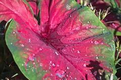 Enhanced processing of Nikon 1 J5 image (Edward Mitchell) Tags: pink green leaf botanicalgarden lakeland florida nikon1 nikon1j5 j5