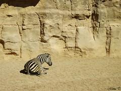 Cebra de Grant (MarisaTárraga) Tags: españa spain valencia bioparc zoo animal cebra grant naturaleza nature fujifilmsl300 zebra
