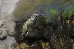 Female Anna's Hummingbird drinking from a creek waterfall (Alan Vernon.) Tags: california canoneos1dxmkii centralcoast copyrightalanvernon2018 flying hummingbird inflight female annas calypte anna tail feathers whitetipped flight emerald green passerine perching bird avian nature wildlife wild birding birdwatching central coast