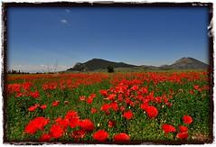 Campo de Amapolas,,,,field of poppies (Vilchez57) Tags: foto fotografía fotógrafo campo amapolas hierbas verde rojo cielo azul color luz montaña flores vilchez57