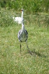 DSC00691 (The Unofficial Photographer (CFB)) Tags: deardiaryjune2018 featheredfriends bushypark royalparks heron ron londonparks