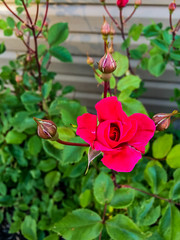 2018 - photo 172 of 365 - cultivated rose (old_hippy1948) Tags: rose buds