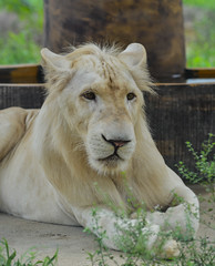 A white lion at the zoo (phuong.sg@gmail.com) Tags: africa african animal carnivora color colour cub fauna felidae form juvenile kalahari krugeri leucism leucistic life lion little mammalia mutation nationalpark natural nature one oneanimal panthera pantheraleo pigmentation southafrica southeast subspecies tawnyafricanlion timbavati timbavatigamereserve transvaal white wild wildlife young zoo