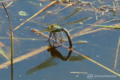 dragonfly 01.07.2018 -p4d-0189 (event-photos4dreams (www.photos4dreams.com)) Tags: gersprenz münster hessen germany naturschutz nabu naturschutzgebiet photos4dreams p4d photos4dreamz nature river bach flus susannahvictoriavergau susannahvvergau eventphotos4dreams butterfly butterflies canoneos5dmarkiii schmetterling schmetterlinge
