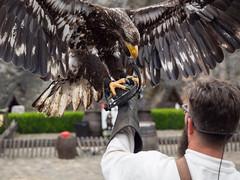 Roofvogelshow in het kasteel van Bouillon (Jeroen Hillenga) Tags: roofvolenshow roofvogel birdofprey bouillon ardennen belgië belgium belgique zeearend eagle arend adelaar