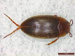 Hydroporus angustatus (dhobern) Tags: coleoptera dytiscidae hydroporinae hydroporusangustatus rudeskov denmark europe june 2018