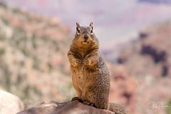 Just One of the Locals (spierson82) Tags: rocksquirrel summer grandcanyon spermophilusvariegatus squirrel canyon nationalpark grandcanyonnationalpark arizona vacation animal grandcanyonvillage unitedstates us brightangeltrail hike
