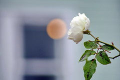 Rose blanche d'hiver attend son Roméo (Christian Chene Tahiti) Tags: canon 6d matakana nz rose nouvellezélande newzealand farmersmarket marché market fleur flore flor flower extérieur bleu blanc carré rond pink vert