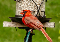 Red is ready..... (114berg) Tags: 14july18 male northern cardinal safflower seed feeder geneseo illinois