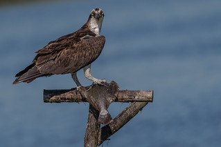 Osprey and it's fish