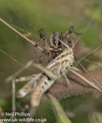 Labyrinth spider (Neil Phillips) Tags: agelenalabyrinthica agelenidae arachnida araneae labyrinthspider arachnid arthropod arthropoda bug invertebrate spider
