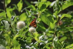 img_100-3856 (Mark Eichin) Tags: greatmeadowsnationalwildliferefuge concord butterflies massachusetts monarch