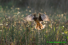 Not An Angel (Andrew's Wildlife) Tags: northernharrier