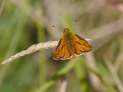 Large Skipper (stephen.reynolds) Tags: large skipper butterfly woodland trust leicestershire brown grass